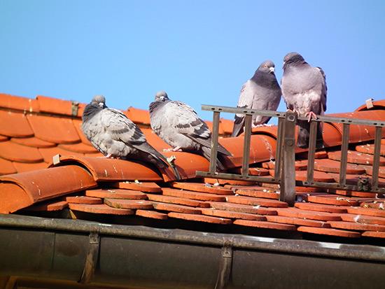 pics-anti-pigeon